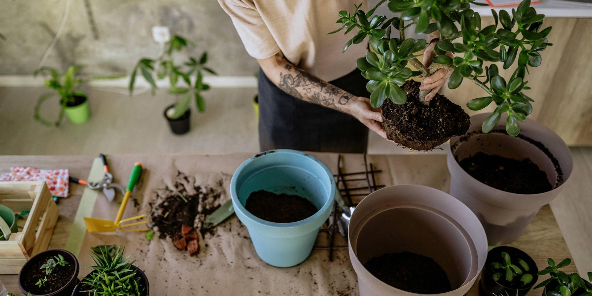 Florist topft Pflanzen um